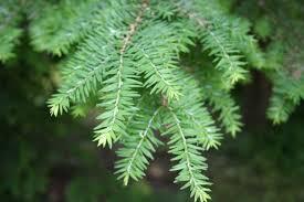 Eastern Hemlock Needles